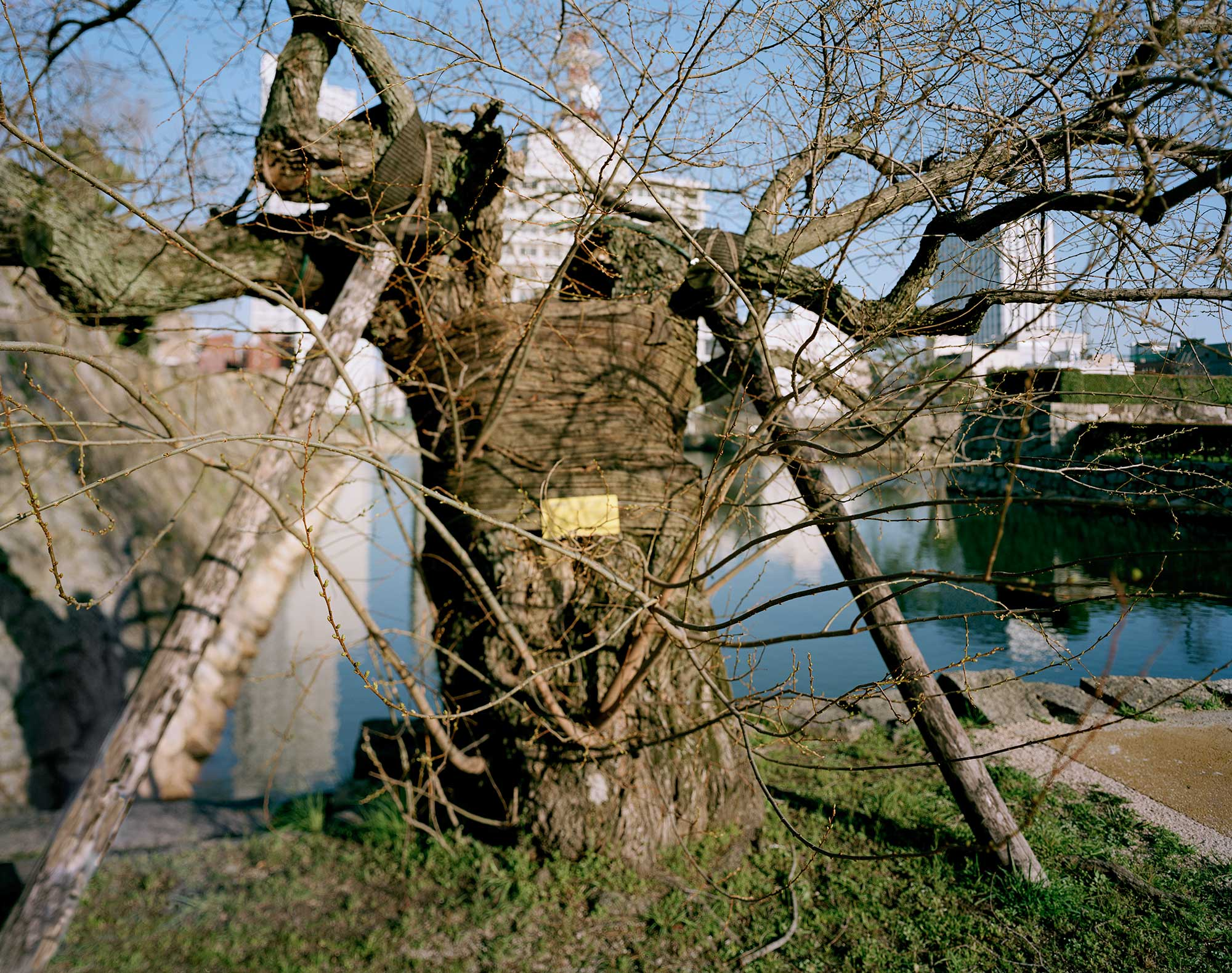 A-bombed Pussy Willow Tree Near Hiroshima Castle, 770 meters from the hypocenter, 30 x 40, Chromogenic Print, 2013, Chromogenic print, 30 x 40 inch.